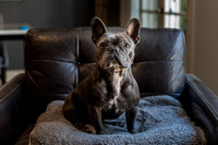 Brody the Blue Frenchie