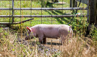 The Farm | Pigs