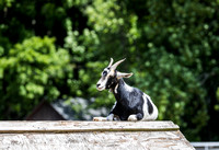 The Farm | Goats